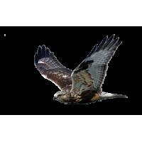 Autocollant Oiseau de Proie 2
