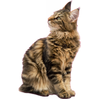 Autocollant chat maine coon