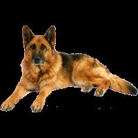 Autocollant chien-berger-allemand-1
