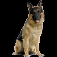 Autocollant chien-berger-allemand