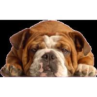 Autocollant chien-bouldogue anglais