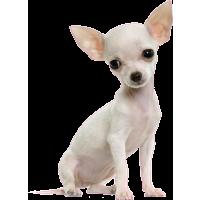 Autocollant chien-Chihuahua-1