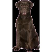 Autocollant chien-labrador-1