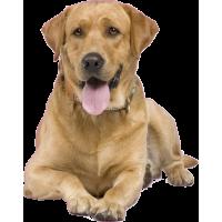Autocollant chien-labrador