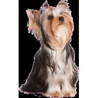 Autocollant chien-yorkshire-1