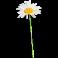 Autocollants Fleur Marguerite
