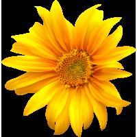 Autocollants Fleur Tournesol