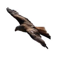 Autocollant Oiseau de proie