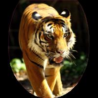 Autocollant WC Tigre